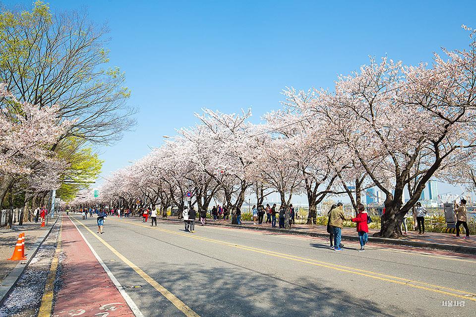 여의도근린공원 벚꽃