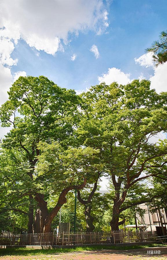정승 심정이 심은 나무