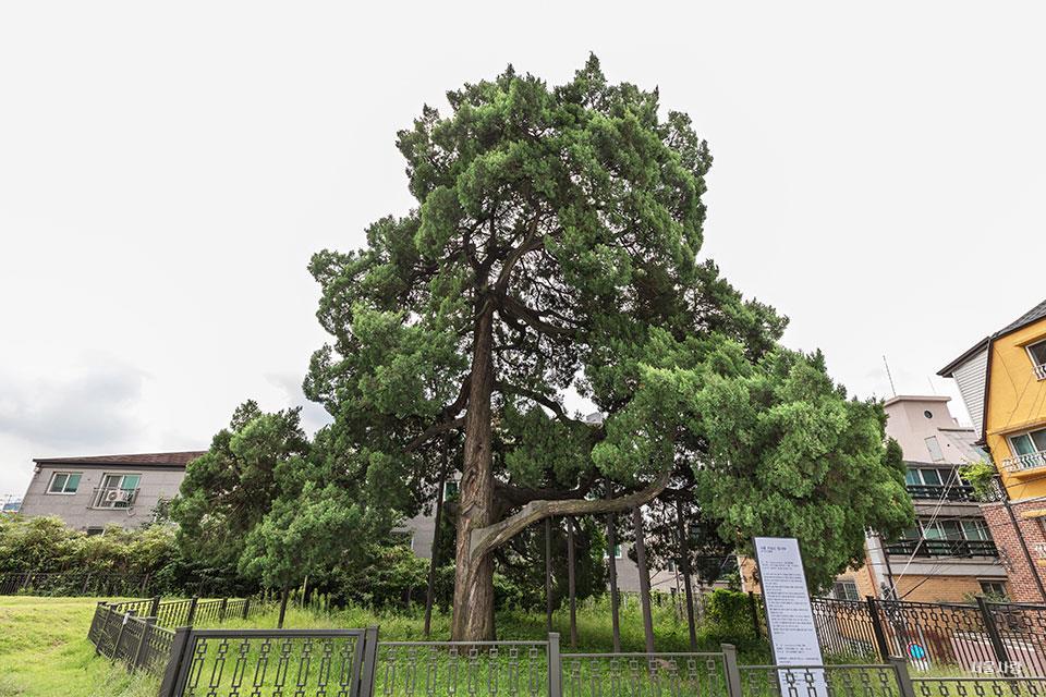 선농단 향나무