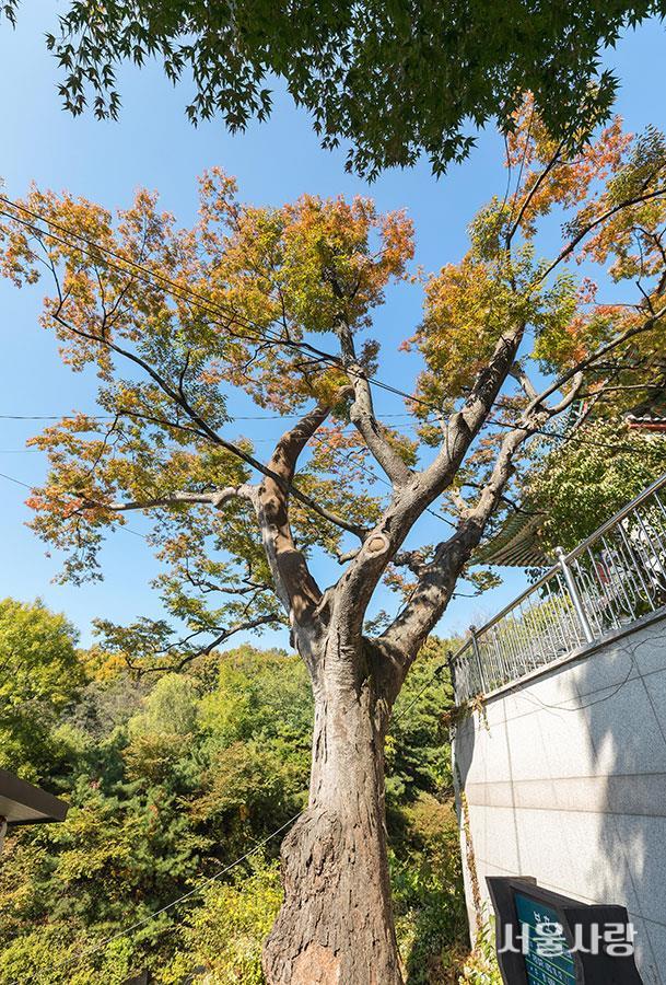 봉원사와 430년 된 느티나무