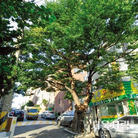 150년 된 느티나무