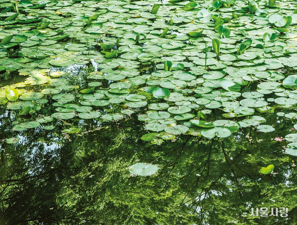 연못 가득 꽃이 피기를 기다리고 있는 애련지의 연잎들.