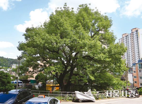 신림동 굴참나무