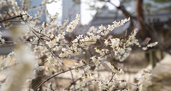 [서울 풍경] 서울, 봄이 오나 봄